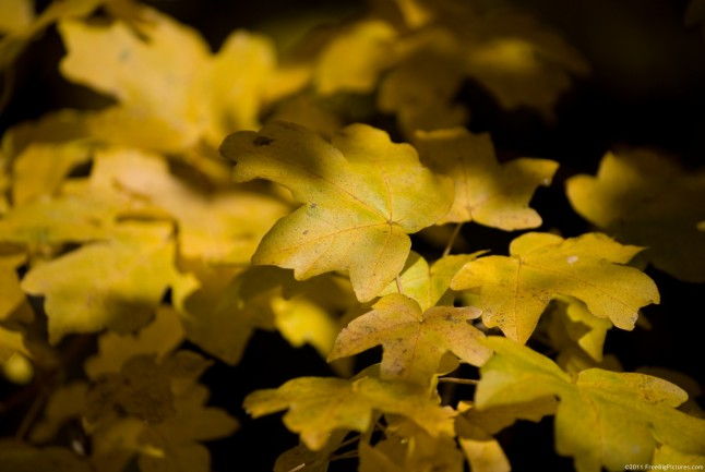 Leaves of maple in the light of autumn