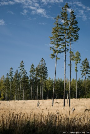 Meadow firs, dry grass, blue sky and an evergreen forest behind the everything