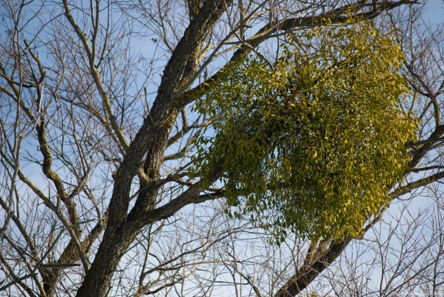 Mistletoe – a plant green all the year, used to treat hypertension