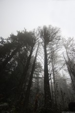 Silhouettes of trees in gray on a misty day of autumn