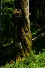 Old beech tree with trunk covered with moss