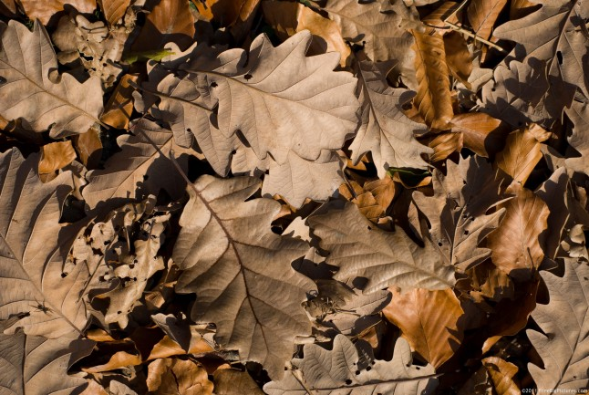 Dry oak leaves, recently fallen, in November