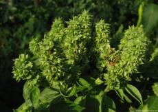 Ocimum basilicum –a plant used in religious rituals
