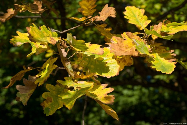 Yellow oak leaves in October