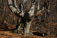 Old beech with gnarled branches in a young forest