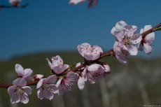 Peach blossoms - native of China