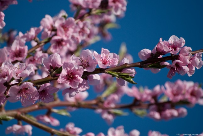 Branch with flowers of peach and a delightful sky, in blue