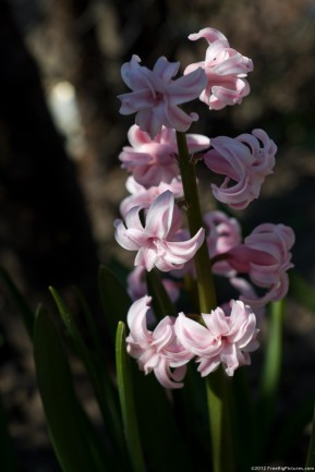 Pink flowers on a hyacinth plant