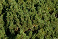 Picture of Pinus mugo on mountains