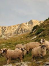 Rams on Pasture