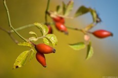 Rose hip – a fruit rich in vitamin C