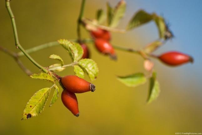 Rose hip – a fruit rich in vitamin C