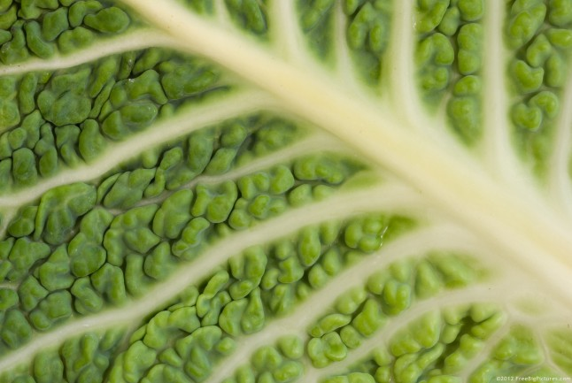 Green leaf of a savoy cabbage in a close view. All its details are clearly visible. The colors are shades of green crossed by a network of many white veins.