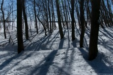 Shadows on snow of a young, leafless forest in the sunlight. The soil is covered with a white blanket which pleasantly contrasting with the dark tree trunks.