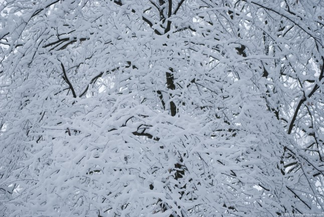 Black twigs covered with white snow