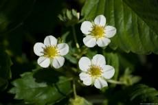 White flower of strawberry