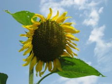Sunflower – a plant used to extract oil