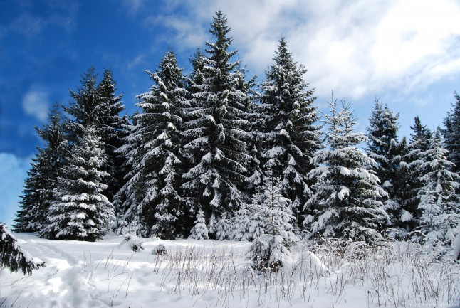 A glade with firs covered by snow, in a cold winter day, with a blue sunny sky