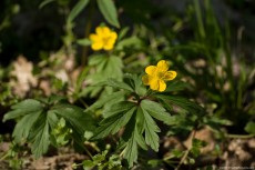 Swamp buttercup - a poisoning plant due to the toxins contained