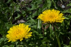 Taraxacum Flowers