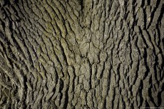 A secular tree skin with many cracks on it.