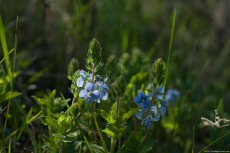 Blue flowers of Veronica Chamaedrys