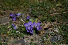 Viola Papilionacea – a violet-blue wildflower that blooms in spring