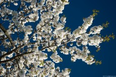 White blossoms of cherry in sunlight