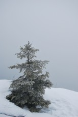 Fir tree covered with white snow