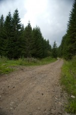A road through a fir forest, circulated by trucks