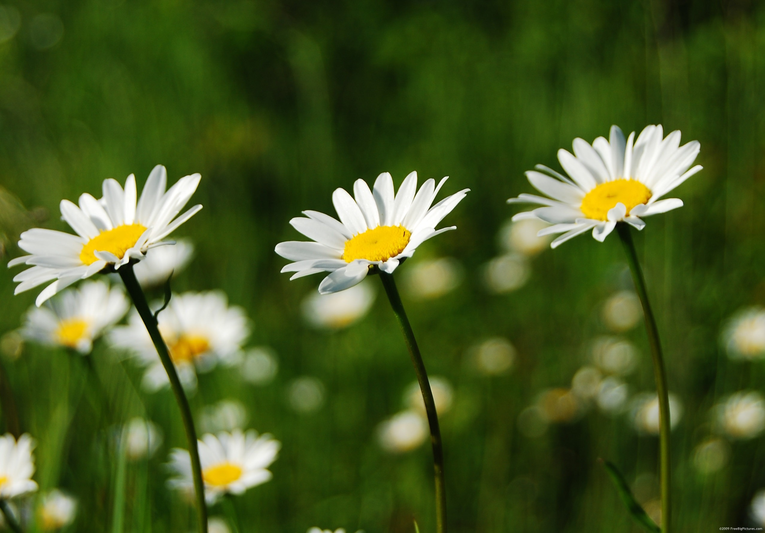14 tips to Make Caring for Shasta Daisies a Breeze